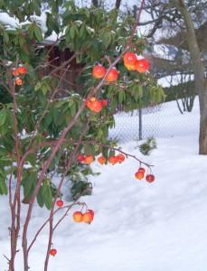 Zierapfel_Schnee