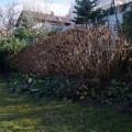 Hochgeschossene Hortensien vor dem Schnitt