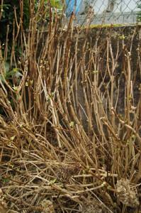 Geschnittene Hortensien; hier wurden nur die vertrockneten Blütenstände entfernt