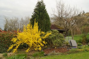 Die Forsythienhecke in voller Blüte