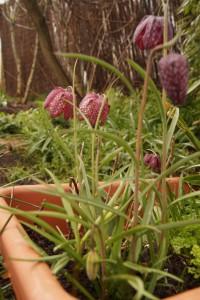 Schachbrettblumen01