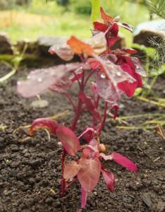 Rote Gartenmelde