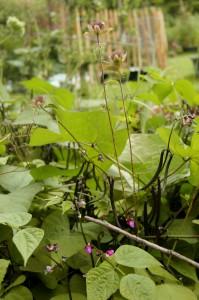 Rosenmelisse, umrahmt von Buschbohnen
