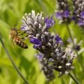 Biene auf Lavendeldolde