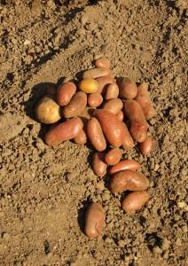 Kartoffeln für eine Mahlzeit