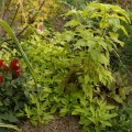 Grünblättrige Süßkartoffel unter dem Gartenfuchsschwanz