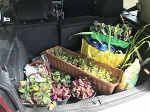 Ein Kofferraum voller Setzlinge