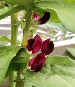 Blüte der Crimson Flowered Puffbohne