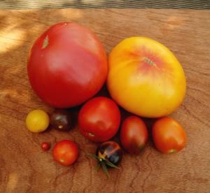 9 von 11 Tomatensorten im Garten